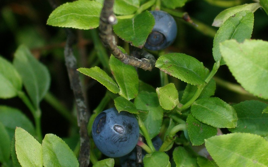 Blueberries (Vaccinium myrtillus)