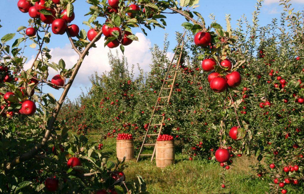 apple-orchard