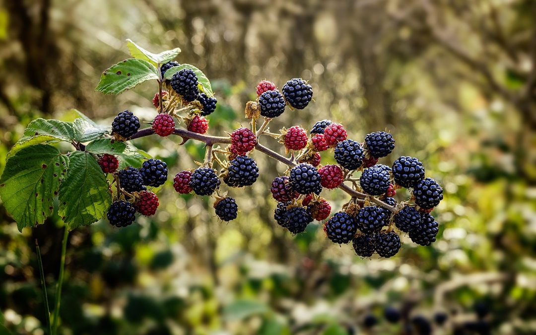 Blackberries (Rubus fruticosus)