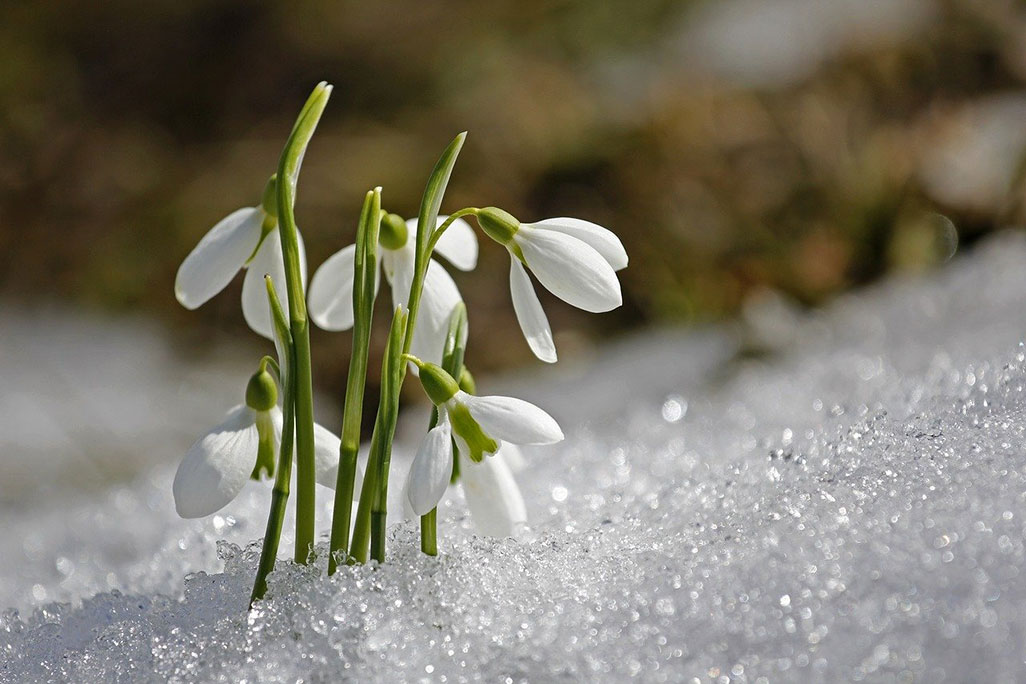 Imbolc - snowdrops harbour nature's awakening