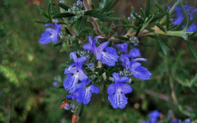 Rosemary – Rosemarinus officinalis
