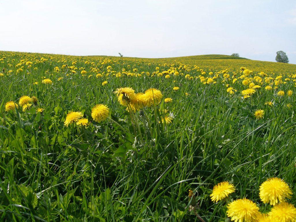 Dandelion fields forever