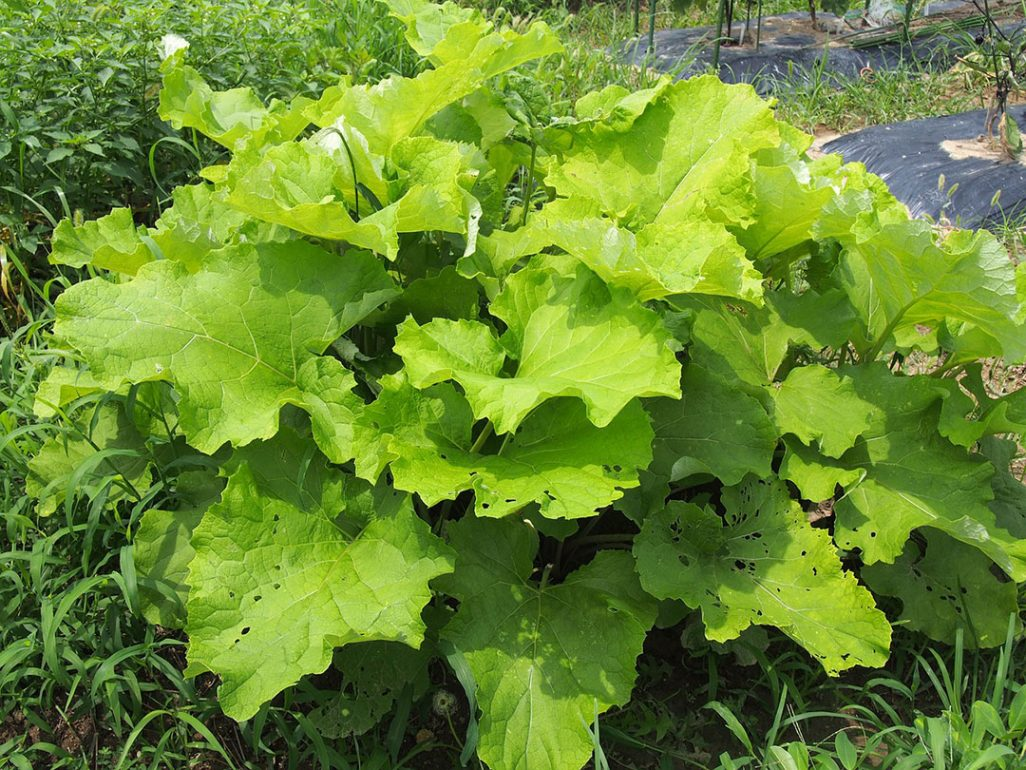 Burdock with its huge, heart-shaped leaves