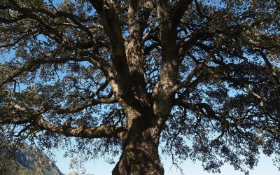 The  Camphor Tree