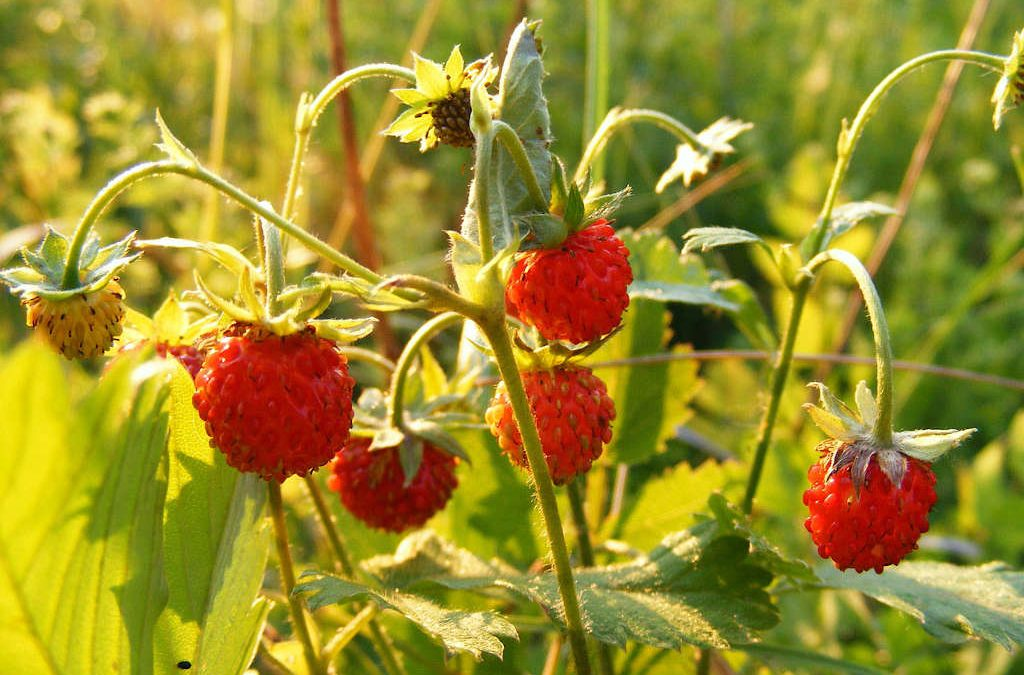 Foraging Wild Strawberries