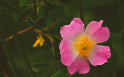 Plant Profile: Medicinal Uses of Rose