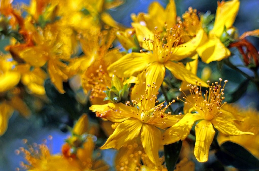 Plant Profile: St. John's Wort