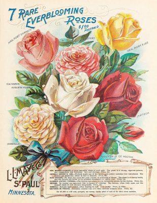 rose culivars