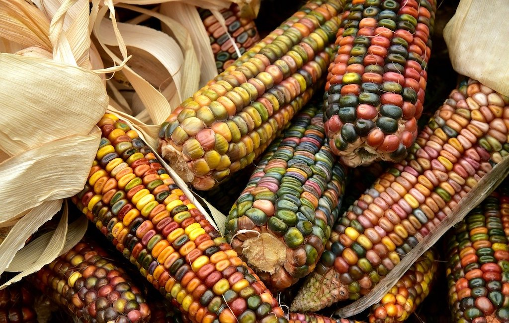 Plant Profile: Corn (Zea Maize)