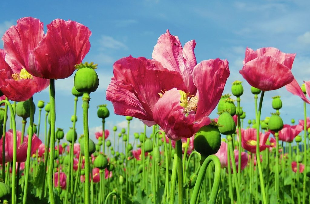 Plant Profile: Opium Poppy (Papaver somniferum)
