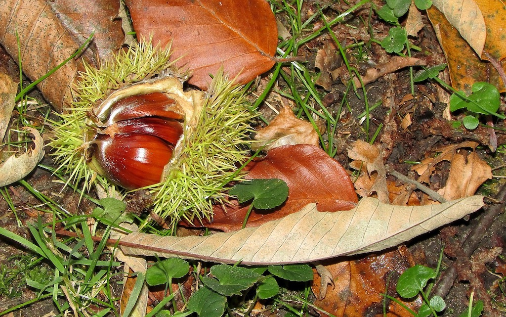 Foraging: Sweet Chestnuts (Castanea sativa)