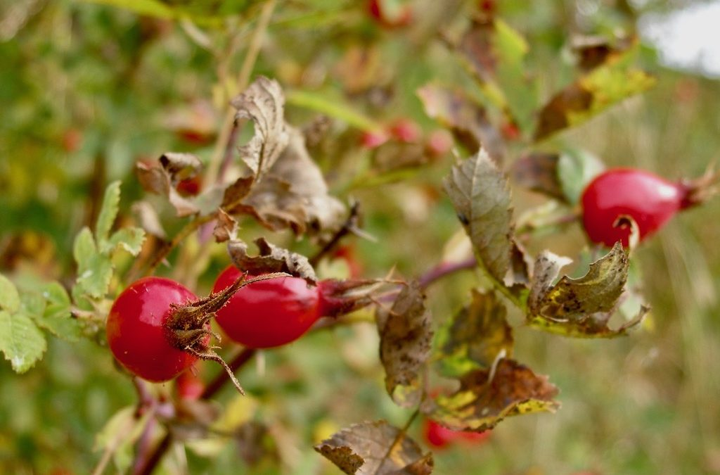 How To Make Rose-Hip Syrup