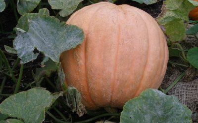 Pumpkins (Curcubita sp)