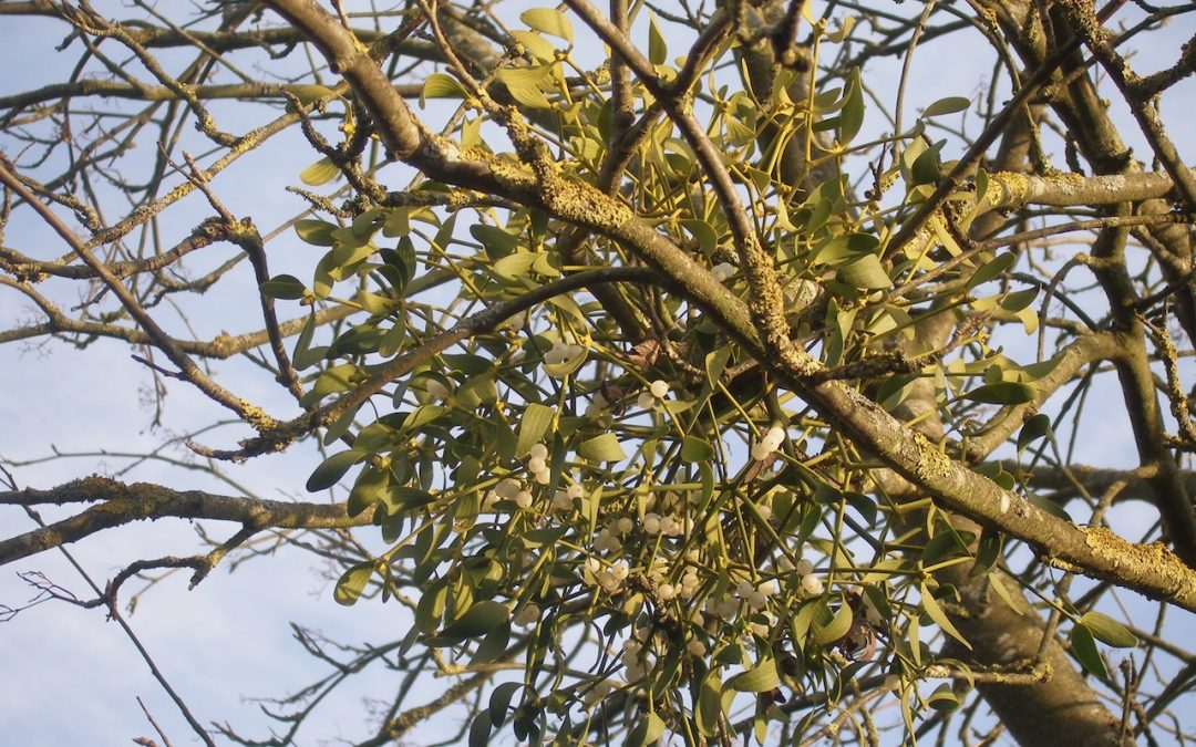 Plant Profile: Mistletoe – Viscum album