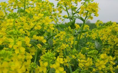 Foraging Wintercress – Barbarea vulgaris