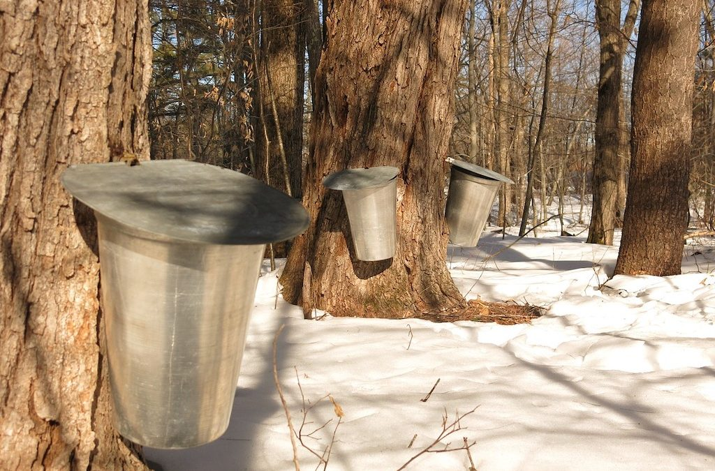 Sugar Maple – A Sweet Miracle