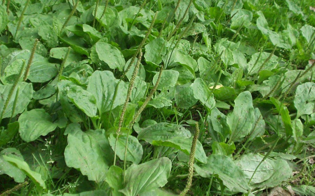 Plantains – Plantago sp.