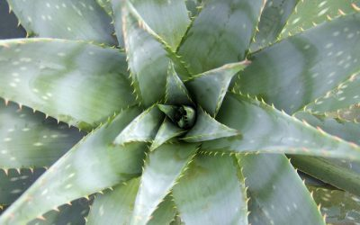 Plant Profile: Aloe vera