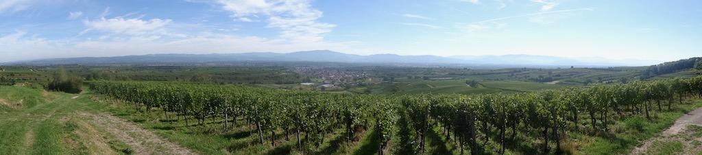 Plant Profile: Grapevine (vitis vinifera)