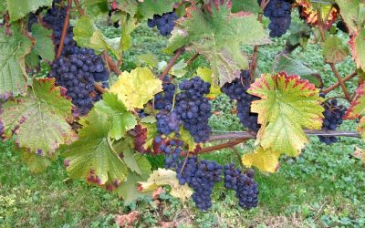 The Cultural History of Grapes