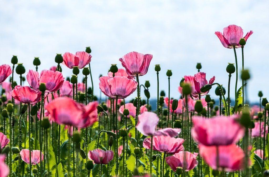 Plant Profile: Poppy (Papaver somniferum)