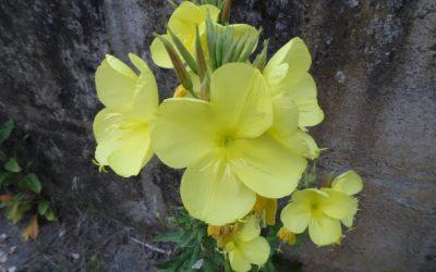 Foraging: Evening Primrose (Oenothera biennis)