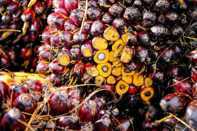 Oil Palm nuts